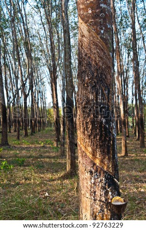 Raw rubber on the rubber tree - stock photo