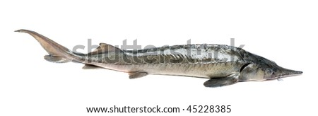 Raw sturgeon isolated on white