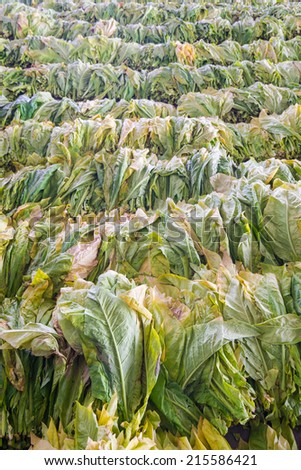 Raw Tobacco Leaf From Garden - stock photo