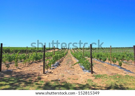 Raws of grape vines at vineyard  - stock photo