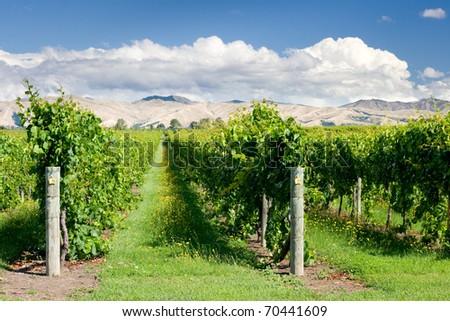 Raws of vines - stock photo