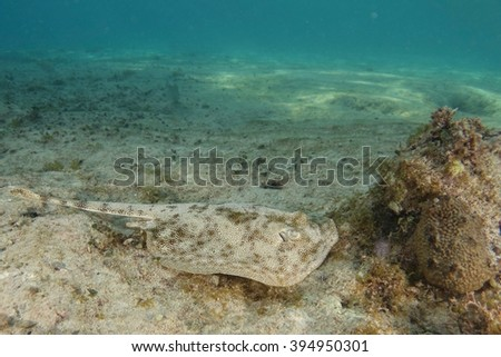 Ray underwater - stock photo