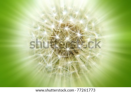 Rays dandelion on a lush green background - stock photo