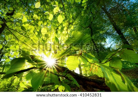 Rays of sunlight beautifully shining through the green leaves of a beech tree just above the forest ground - stock photo