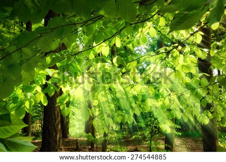 Rays of sunlight falling through the fresh, lush leaves of beech trees in a green forest, creating a surreal, yet pleasing atmosphere - stock photo