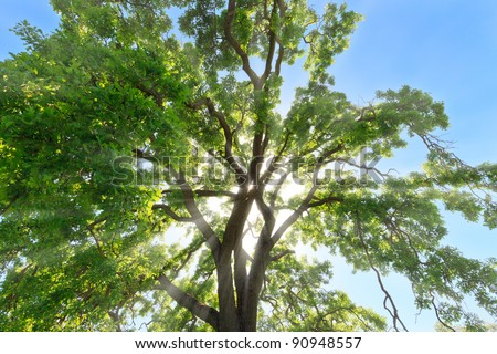 Rays of sunlight filtering through remnant morning mist and the branches of a large oak tree crown - stock photo
