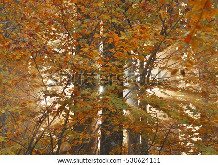 Rays of sunlight shining through  the autumn trees