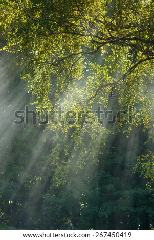 Rays of sunlight through the fog in the trees