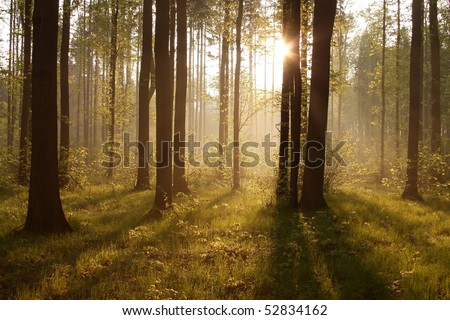 Rays of the rising sun pass between the trees in the spring woods.