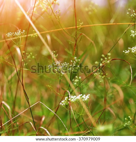 Rays of the setting sun on meadow flowers. Shallow depth of field - stock photo