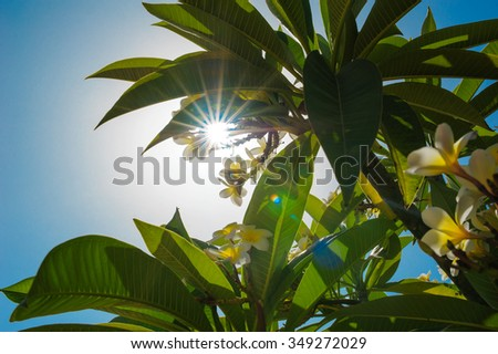 rays of the sun through the leaves and flowers frangipani. - stock photo
