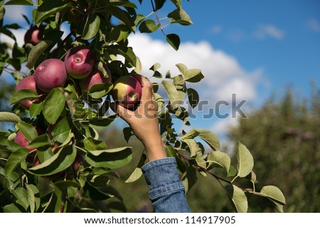 Reaching for a red apple on a tree