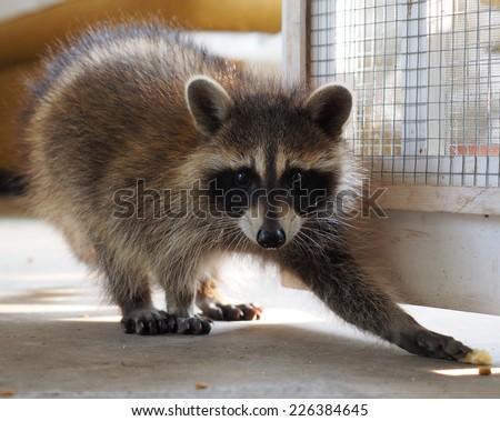 Reaching Raccoon - stock photo