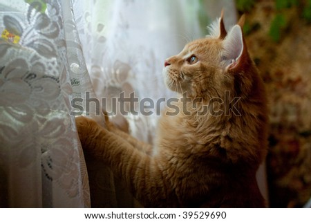 Read maine coon cat looking at window, hunting after birds - stock photo