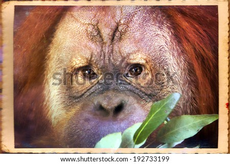 Reading thoughts look of an orangutan male. Wild beauty of a human-like monkey. Expressive face of a great ape - stock photo