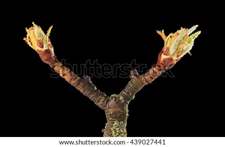 Ready to bloom flower buds on fruiter tree twig with rain drops isolated on black - stock photo