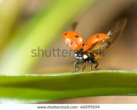 Ready to fly. Closeup of ladybug on green grass - stock photo