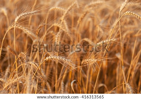 ready to harvest gold ears of wheat close up on a background of a wheat field