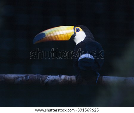 real bright tucano bird in zoo on tree branch close up - stock photo