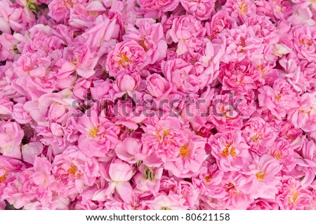 Real Bulgarian Damascena Rose