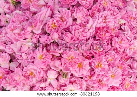 Real Bulgarian Damascena Rose - stock photo