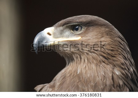 real Eagle in black background