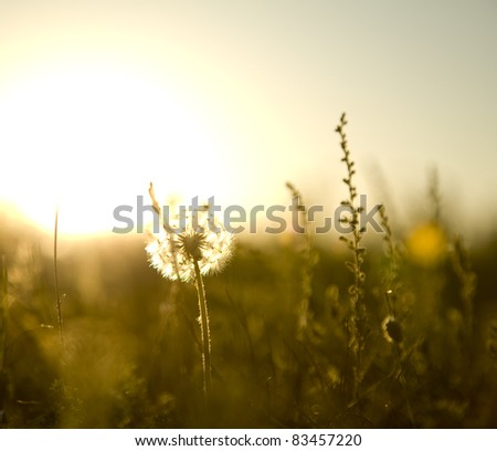 Real field and dandelion at sunset. - stock photo