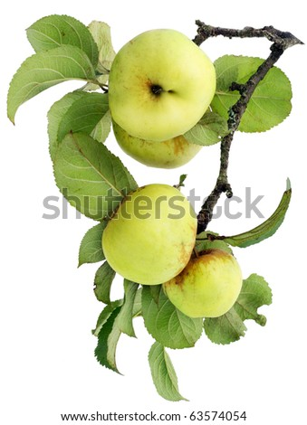 Real green  apples on a branch with leaves isolated on white - stock photo