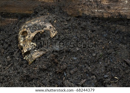 Real human skull figured as crime scene on a farm