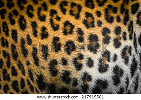 Real jaguar skin - stock photo