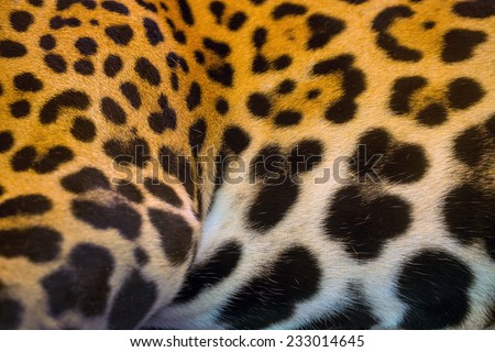 Real jaguar skin.