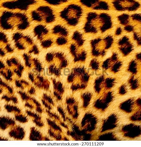 Real jaguar skin - stock photo