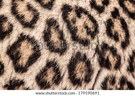 Real Leopard pattern or texture or background or skin