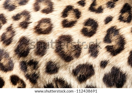 Real Live Leopard Fur Skin Texture Background Panthera Pardus Orientalis - stock photo