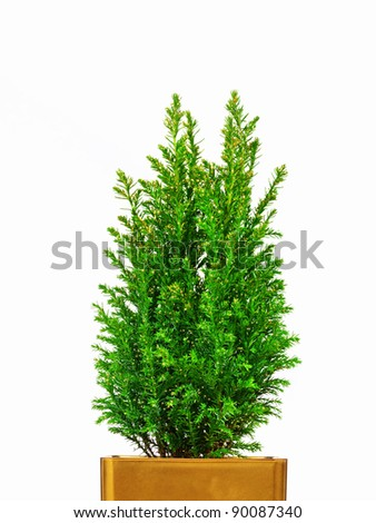 Real Mini Christmas tree in a pot - stock photo
