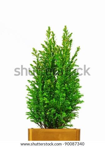 real mini christmas tree in a pot - Real Mini Christmas Tree