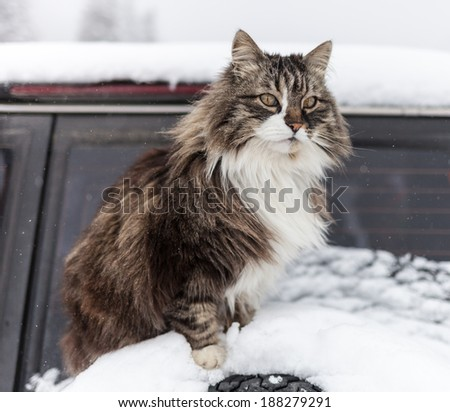 real mountain cat in winter - stock photo