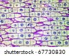 Real photomicrograph of onion (Allium) cellular mitosis. This is a panorama of 4 photos through the microscope at 40x. Photomicroscopy has a very shallow DOF, thus the view at 100% may appear soft. - stock photo