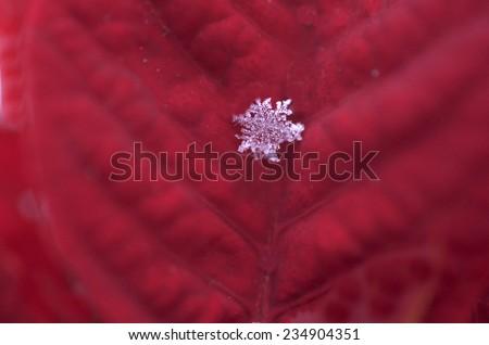 Real Snowflake On Poinsettia Petal - stock photo