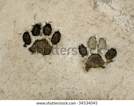 Real tiger footprints - stock photo