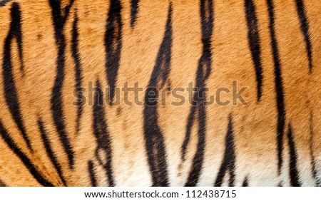 Real Tiger Fur Texture Striped Pattern Background Panthera Tigris - stock photo