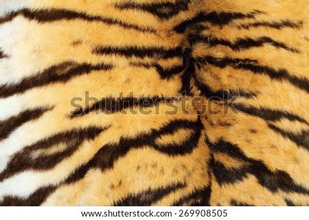 real tiger textured fur, beautiful natural pelt - stock photo