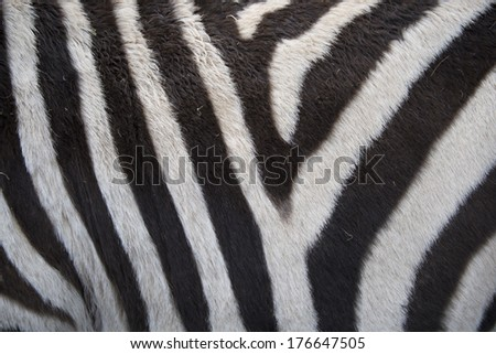 Real zebra background texture