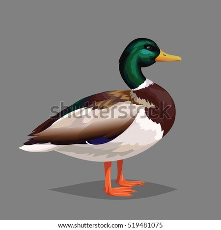 Realistic bird Wild Duck on a grey background. Colorful illustration of realistic male bird Mallard for your design, journal article and encyclopedia.
