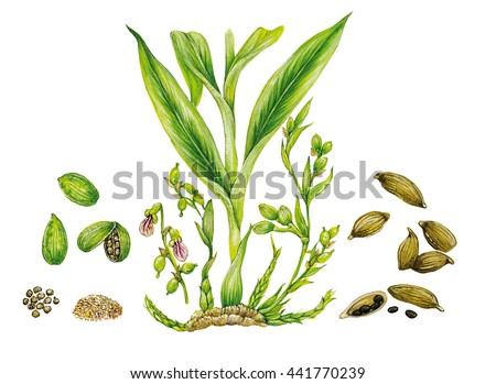 Cardamom Stock Photos Royalty Free Images Amp Vectors