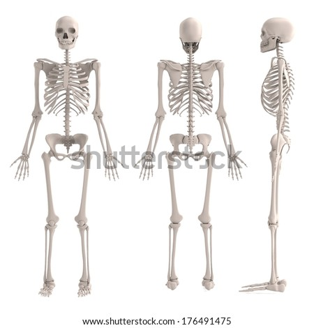 realistic 3d render of male skeleton - stock photo