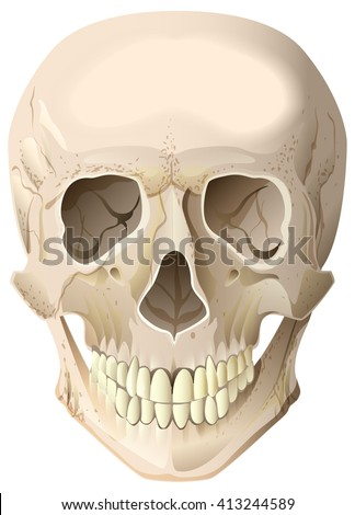 Realistic human skull. Isolated on white illustration