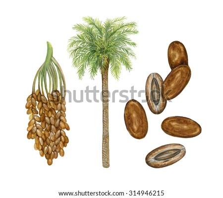 realistic illustration of date palm (Phoenix dactylifera) with dates - stock photo
