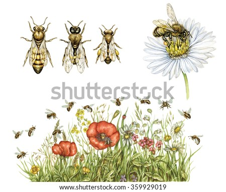 realistic illustrations of honey bee (apis mellifera) with worker bee, drone, queen and bees collect pollen of wildflowers - stock photo