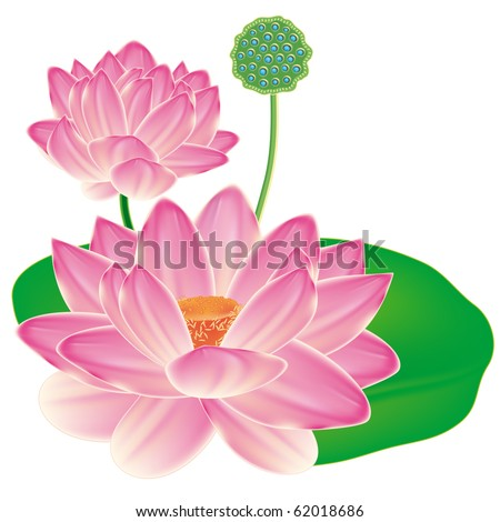 Realistic Oriental lotus - a flower isolated with a sheet, a full-blown bud and fruit box. - stock photo